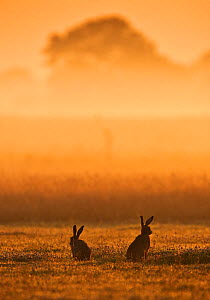 European Hare (Lepus europaeus) courting pair in grassland at dawn. Wales, UK, July.  -  Andy Rouse / 2020VISION