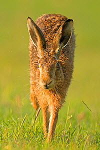 European Hare (Lepus europaeus) running. Wales, UK, July.  -  Andy Rouse / 2020VISION