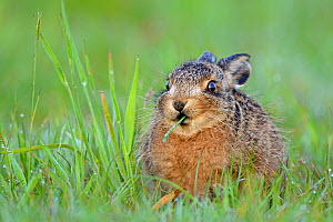 European Hare (Lepus europaeus) leveret feeding on grass. Wales, UK, May. - Andy Rouse / 2020VISION