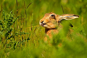 European Hare (Lepus europaeus) feeding on grass. Wales, UK, May. Did you know? Brown hares are primarily nocturnal. - Andy Rouse / 2020VISION