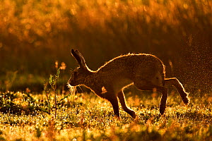 European Hare (Lepus europaeus) silhouetted at dawn. Wales, UK, August. Did you know? Unlike rabbits, hares do not dig warrens, just a shallow depression called a form.  -  Andy Rouse / 2020VISION