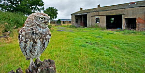 Little Owl (Athene noctua) perched on post with its nesting barn in background. Wales, UK, August.  -  Andy Rouse / 2020VISION