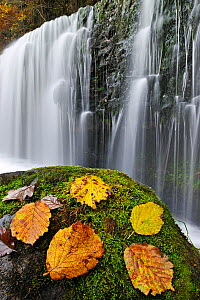 Autumn leaves on mossy rock in front of Sgwd Isaf Clun-gwyn waterfall. Ystradfellte, Brecon Beacons National Park, Wales, November 2011.  -  Andy Rouse / 2020VISION