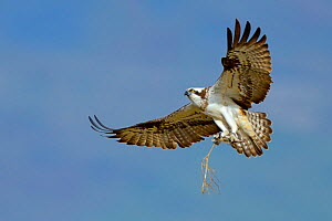 Osprey (Pandion haliaetus) female in flight with nesting material. Dyfi Estuary, Wales, UK, April. Taken with a Schedule 1 license from Countryside Council of Wales. Did you know? Ospreys are able to... - Andy Rouse / 2020VISION