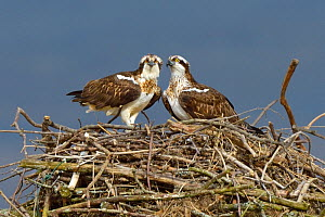 Osprey (Pandion haliaetus) male and female (Nora and Monty) on the nest. Dyfi Estuary, Wales, UK, April. Taken with a Schedule 1 license from Countryside Council of Wales. - Andy Rouse / 2020VISION