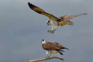 Osprey (Pandion haliaetus) male getting into position to mate. Dyfi Estuary, Wales, UK, April. Taken with a Schedule 1 license from Countryside Council of Wales. - Andy Rouse / 2020VISION