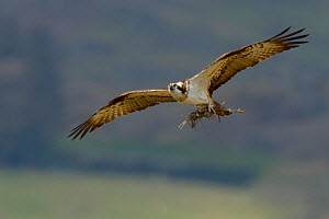 Osprey (Pandion haliaetus) female in flight with sticks as nesting material. Dyfi Estuary, Wales, UK, April. Taken with a Schedule 1 license from Countryside Counside of Wales. - Andy Rouse / 2020VISION