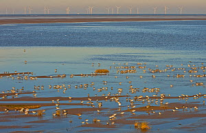Knot (Calidris canuta) and other waders foraging on tidal flats with wind farm on horizon. Liverpool Bay, UK, December.  -  Andy Rouse / 2020VISION
