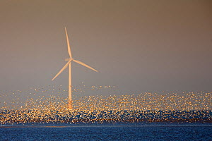 Flock of Knot (Calidris canuta) over sea with wind turbine. Liverpool Bay, UK, December. - Andy Rouse / 2020VISION