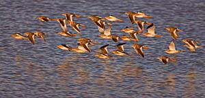 Redshank (Tringa totanus) flock in flight low over water. Liverpool Bay, UK, December.  -  Andy Rouse / 2020VISION