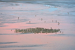 Knot (Calidris canuta) and Oystercatchers (Haematopus ostralegus) roosting and foraging on tidal flats. Liverpool Bay, UK, December.  -  Andy Rouse / 2020VISION