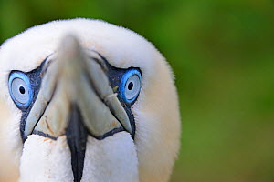 Gannet (Morus bassanus) portrait showing blue eyes. Bempton Cliffs RSPB reserve, UK, Yorkshire, July.  -  Andy Rouse / 2020VISION