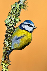 Blue Tit (Cyanistes / Parus caeruleus) perched on lichen-covered twig. Wales, UK, February. - Andy Rouse / 2020VISION