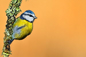 Blue Tit (Cyanistes / Parus caeruleus) perched on lichen-covered twig. Wales, UK, February. Did you know? The front of a Blue tit's head glows brightly under UV light, which is used by females to choo...  -  Andy Rouse / 2020VISION