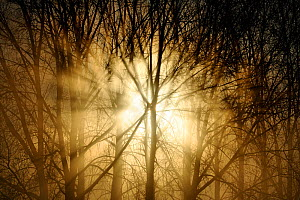 Sunrise breaking through misty woodland. Wales, UK, December.  -  Andy Rouse / 2020VISION