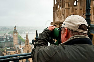 London peregrine expert watching Peregrine Falcons (Falco peregrinus) on the Houses of Parliament. Central London, July. Model: David Morrison.  -  Bertie Gregory / 2020VISION