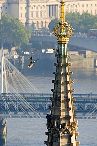Juvenile Peregrine Falcon (Falco peregrinus) landing on the Houses of Parliament where its parent is perched. Central London, Autumn. - Bertie Gregory / 2020VISION