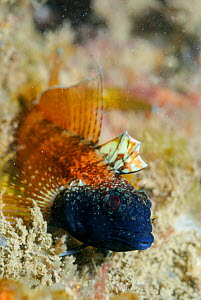 Male Black faced blenny (Tripterygion delaisi), part of a sequence showing colour change, Swanage, Dorset, England, UK, May. 2/4  -  Linda Pitkin / 2020VISION