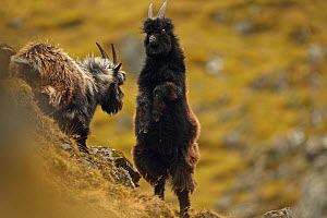 Two Feral goats (Capra aegagrus hircus) fighting, Highlands, Scotland, UK, February. Did you know? Scottish feral goats are descended from domestic goats abandoned during the Highland Clearances. - Luke Massey / 2020VISION