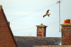 Red kite (Milvus milvus) flying over rooftops, Oxfordshire, England, UK, February. 2020VISION Book Plate.  -  Luke Massey / 2020VISION