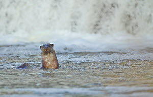 Female European river otter (Lutra lutra) playing with cub near a weir, Hertfordshire, England, UK, February  -  Luke Massey / 2020VISION