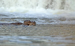 Female European river otter (Lutra lutra) playing with two cubs near a weir, Hertfordshire, England, UK, February  -  Luke Massey / 2020VISION