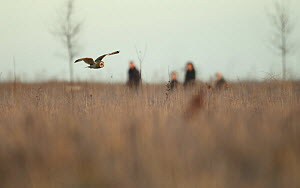 Short eared owl (Asio flammeus) flying over grassland whilst hunting, with people by in the background, Northamptonshire, England, UK, January  -  Luke Massey / 2020VISION