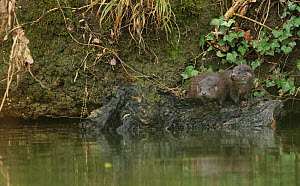 Two juvenile European river otters (Lutra lutra) on a log in a river, Hertfordshire, England, UK  -  Luke Massey / 2020VISION