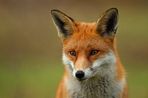 Red fox (Vulpes vulpes) vixen, Hertfordshire, England, UK, January. Did you know? The word Shenanigan comes from the Irish 'sionnachuighim' meaning 'I play the fox'.  -  Luke Massey / 2020VISION