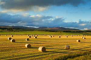 Barley straw bales in field after harvest, Inverness-shire, Scotland, UK, October - Mark Hamblin / 2020VISION