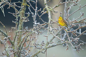 Yellowhammer (Emberiza citrinella) male perched in frost, Scotland, UK, December - Mark Hamblin / 2020VISION