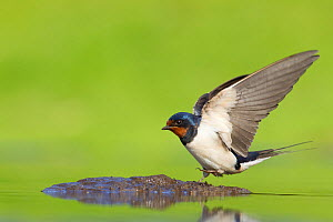 Barn swallow (Hirundo rustica) collecting mud for nest building, June, Scotland, UK - Mark Hamblin / 2020VISION