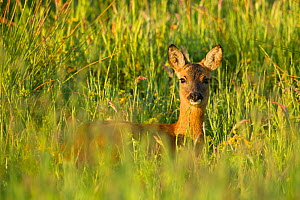 Roe deer (Capreolus capreolus) young doe in summer meadow, Scotland, UK - Mark Hamblin / 2020VISION