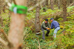RSPB staff and volunteers tree pulling down  pine trees in plantation to create open habitat in woodland, RSPB Abernethy Forest Reserve, Cairngorms National Park, Scotland, UK, September 2011, model r... - Mark Hamblin / 2020VISION