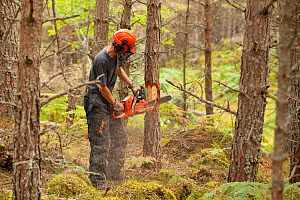 RSPB staff / volunteers treereing barking pine tree in plantation to create open habitat in woodland, RSPB Abernethy Forest Reserve, Cairngorms National Park, Scotland, UK, September 2011. Model relea... - Mark Hamblin / 2020VISION