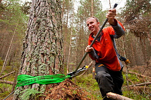 RSPB staff and volunteers tree pulling down pine trees in plantation to create open habitat in woodland, RSPB Abernethy Forest Reserve, Cairngorms National Park, Scotland, UK, September 2011. Model re... - Mark Hamblin / 2020VISION