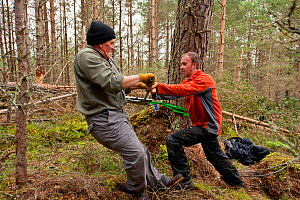 RSPB staff and volunteers tree pulling pine trees down in plantation to create open habitat in woodland, RSPB Abernethy Forest Reserve, Cairngorms National Park, Scotland, UK, September 2011. Model re...  -  Mark Hamblin / 2020VISION