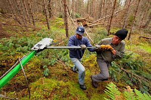RSPB staff and volunteers tree pulling pine trees in plantation to create open habitat in woodland, RSPB Abernethy Forest Reserve, Cairngorms National Park, Scotland, UK, September 2011. Model release... - Mark Hamblin / 2020VISION