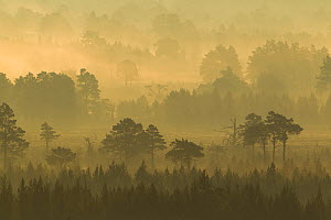 Scots Pine forest on misty autumn morning, Rothiemurchus Forest, Cairngorms National Park, Scotland  -  Mark Hamblin / 2020VISION