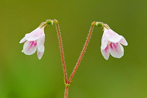 Twinflower (Linnaea borealis) in flower in pine woodland, Abernethy National Nature Reserve, Cairngorms National Pasrk, Scotland, UK  -  Mark Hamblin / 2020VISION