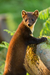 Pine marten (Martes martes) juvenile in woodland, Beinn Eighe National Nature Reserve, Wester Ross, Scotland, UK, July - Mark Hamblin / 2020VISION
