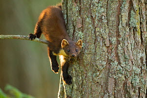 Pine marten (Martes martes) juvenile in pine tree in woodland, Beinn Eighe National Nature Reserve, Wester Ross, Scotland, UK, July. Highly commended, 'Animal Portraits' category, British Wildlife Pho...  -  Mark Hamblin / 2020VISION