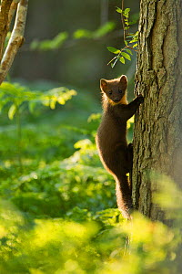 Pine marten (Martes martes) juvenile, climbing pine tree in woodland, Beinn Eighe National Nature Reserve, Wester Ross, Scotland, UK, July - Mark Hamblin / 2020VISION