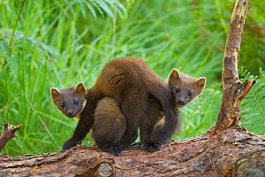 Pine marten (Martes martes) two playing  on fallen pine log in woodland, Beinn Eighe National Nature Reserve, Wester Ross, Scotland, UK - Mark Hamblin / 2020VISION