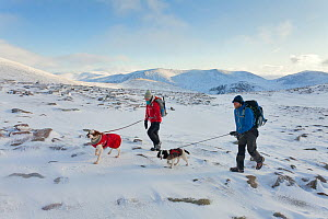 Hill walkers and dogs in winter. Cairngorms National Park, Scotland, December 2011.  -  Mark Hamblin / 2020VISION