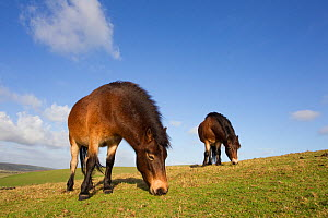 Exmoor Ponies (Equus caballus) grazing at Seven Sisters Country Park, South Downs, England, November. Did you know? Some people believe that Exmoor ponies are related to the now extinct Tarpan horse o...  -  Peter Cairns / 2020VISION
