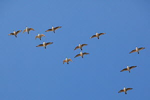 Flock of Knot (Calidris canuta) in flight. The Wash Estuary, Norfolk, October.  -  Peter Cairns / 2020VISION