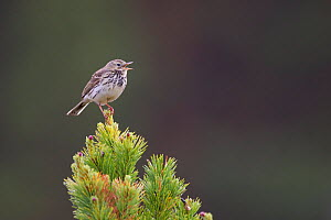 Meadow Pipit (Anthus pratensis) singing from scots pine, Glenfeshie, Scotland, June.  -  Peter Cairns / 2020VISION
