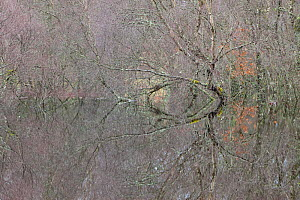 Woodland reflections in the floodwaters of the River Spey, Scotland, December.  -  Peter Cairns / 2020VISION