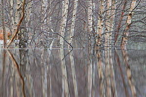 RF- Woodland reflections in the floodwaters of the River Spey, Scotland, December. (This image may be licensed either as rights managed or royalty free.)  -  Peter  Cairns / 2020VISION